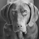 Geel Labrador op de witte achtergronden stock foto