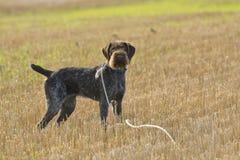 Geel Labrador op de witte achtergronden Royalty-vrije Stock Afbeeldingen