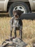 Geel Labrador op de witte achtergronden Royalty-vrije Stock Fotografie