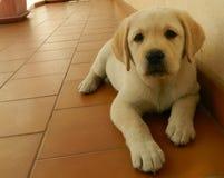 Geel Labrador puppy Royalty-vrije Stock Foto