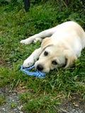 Geel Labrador puppy met een stuk speelgoed Stock Afbeeldingen