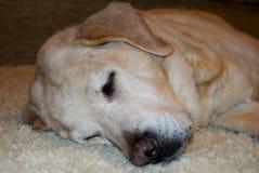 Geel labrador retriever vreedzaam speeps royalty-vrije stock afbeelding