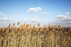 Geel lang gras onder een blauwe hemel met cloudscape stock afbeeldingen