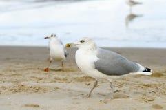 Geel-legged zeemeeuwen op strand Stock Fotografie