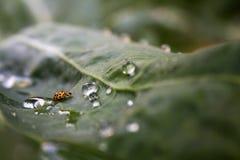 Geel lieveheersbeestje Stock Foto's