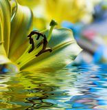 Geel lilly Stock Foto's
