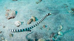 Geel-lipped overzees krait royalty-vrije stock afbeeldingen