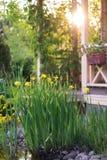 Geel lis dichtbij de vijver royalty-vrije stock afbeelding