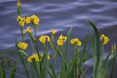 Geel lis (Irispseudacorus) Royalty-vrije Stock Afbeeldingen