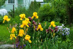 Geel lis, purpere iris in tuin royalty-vrije stock afbeelding