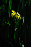 Geel lispseudacorus Stock Afbeeldingen