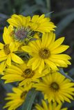 Geel Maximilian Sunflower Blossom Cluster stock fotografie