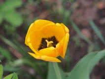 Geel met rode adersbloemblaadjes van Tulip Bud Bloementeelt royalty-vrije stock fotografie