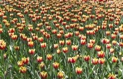 Geel met rode tulpen Stock Afbeeldingen