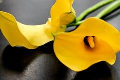 Geel Mini Calla Lilies Black Background royalty-vrije stock afbeeldingen