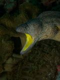 Geel-Mouthed moray paling Stock Foto's