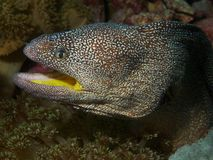 Geel-Mouthed moray paling Royalty-vrije Stock Foto