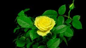 Geel nam bloem het openen toe stock videobeelden
