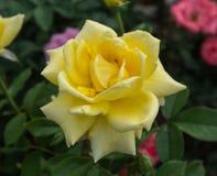 Geel nam bloem in tuin toe Royalty-vrije Stock Foto