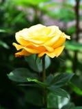 Geel nam in de tuin toe royalty-vrije stock fotografie