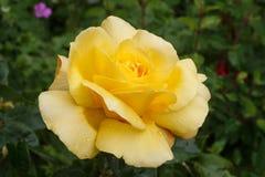 Geel nam in een tuin toe stock fotografie