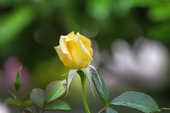 Geel nam in het close-up van de de zomertuin toe stock afbeelding