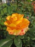 Geel nam met rode vlekken in de tuin toe Royalty-vrije Stock Afbeelding