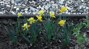 Geel narcissenbloemen of bloemboeket royalty-vrije stock foto