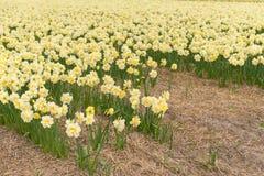 Geel narcissengebied in Noord-Holland Royalty-vrije Stock Fotografie