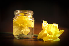 Geel Narcissus Flower Royalty-vrije Stock Foto's