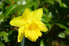 Geel Narcissus Growing Alone stock afbeeldingen
