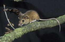 Geel-necked muis, Apodemus-flavicollis, royalty-vrije stock fotografie