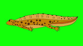 Geel Newt Swimming Isolated vector illustratie