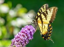 Geel Oostelijk Tiger Swallowtail Butterfly stock foto