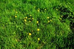 Geel paardebloem en gras op de lente Stock Afbeelding