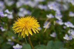 Geel Paardebloemclose-up op natuurlijke weideachtergrond stock foto's