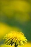 Geel paardebloemgebied De zomer stock foto