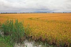 Geel padieveld in het Po Deltapark, Italië Royalty-vrije Stock Fotografie