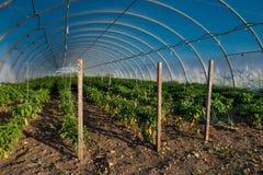 Geel Paprika en Chili Plants in Serre stock foto's