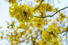Geel Pui Flowering royalty-vrije stock afbeelding