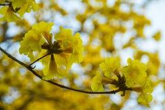Geel Pui Flowering royalty-vrije stock foto