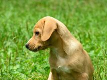 Geel puppy royalty-vrije stock foto's