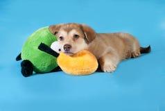 Geel puppy dat op blauw ligt Stock Foto's