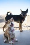 Geel puppy en zwarte hond Royalty-vrije Stock Afbeeldingen