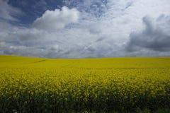 Geel raapzaadgebied Stock Foto's