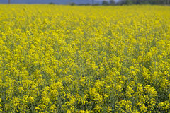 Geel raapzaadgebied in bloeilandschap Royalty-vrije Stock Afbeeldingen