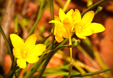 Geel rainlily Stock Afbeeldingen