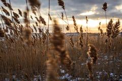 Geel riet op een sneeuwstrand op de achtergrond van de zonsopgang royalty-vrije stock afbeelding