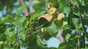 Geel-rode appelen op een boom stock videobeelden