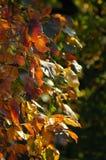 Geel-rode tak van de herfst Royalty-vrije Stock Afbeelding